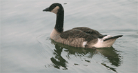 single_goose_pd